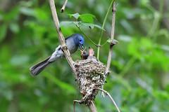 黑枕藍鶲~育雛~ Hypothymis azurea brooding (Shang-fu Dai) Tags: 台灣 taiwan nikon d500 飛羽 鳥 bird tamron150600mm 黑枕藍鶲 hypothymisazurea 育雛 brooding