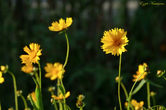 Coréopsis à oreilles coreopsis auriculata   (3) (Ezzo33) Tags: coréopsis à oreilles coreopsis auriculata france gironde nouvelleaquitaine bordeaux ezzo33 nammour ezzat sony rx10m3 parc jardin fleur fleurs flower flowers jaune yellow