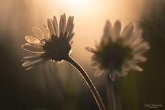 Starring at the sun (Zaphod Beeblebrox 1970) Tags: bokeh lens natur nature flower blume daisy gänseblümchen manual meyer summer pflanzen macro trioplan sun fairy sonne makro flowers vintage meadow sommer blumen