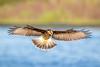 Snail Kite #2 (hetrickwesley) Tags: 150600 2018 80d canon florida gainesville june paynesprairie sigma sigmalens sweetwaterwetlands snailkite bird large raptor kite