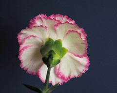 From the Land Down Under (Eclectic Jack) Tags: flowersbottom smileonsaturday smile saturday flower bottom down under carnation white pink blue green stem