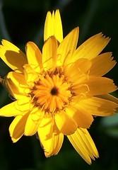 Dandelion (Lindsaywhimsy) Tags: dandelion flower garden yellow petals