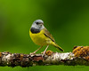 Mourning Warbler (CR Courson) Tags: mourningwarbler parulidae warblers birds birdphotography nikon naturephotography nature crcourson chuckcourson explore explored