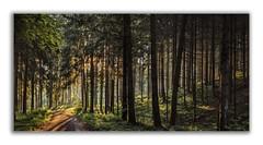 Morgendlicher Wald (Robbi Metz) Tags: deutschland germany bayern bavaria reischenau augsburgwestlichewälder forest trees sunrise colors canoneos