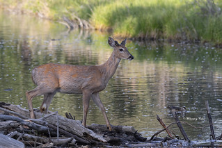 Young Buck on Dam