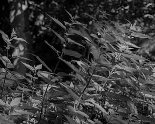Nettles (Hyons Wood)