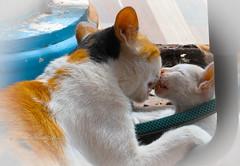 Loving mama cat (stormymayen) Tags: cat kitten kiss playful goodtimes