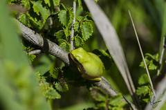 La Rainette méridionale (marinaturaliste) Tags: grenouille rainette meridionale vert