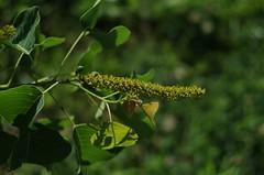 Popcorn Tree Flowers (bamboosage) Tags: helios 442 258 preset m42 russia