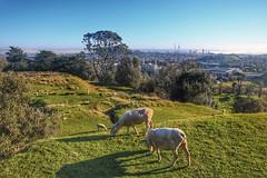 One tree hill (Gunn Shots.) Tags: onetreehill auckland newzealand sheep volcano caldera pasture cbd green u2