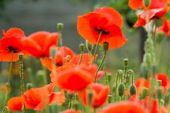 Poppy flowers (Marat Assanov) Tags: poppy ukraine country flowers summer