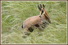 Chamois 180618-06-P (paul.vetter) Tags: rupicaprarupicapra capriné chamois bovidé gamuza gemse mountaingoat