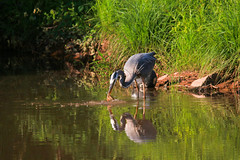 heron fishing (webmastermama71) Tags: pond bird birding greatblueheron heron fish carnivore