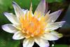 睡蓮 (~金玉~ Y.C.CHEN) Tags: flower nature canon color plant purple yellow lotus green light