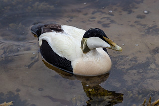 Eider Duck in Seahouses harbour