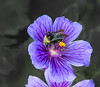 Never to much. (Omygodtom) Tags: natural flower elitebugs existinglight bumblebee insect bug macro tamron90mm dof d7100 diamond usgs