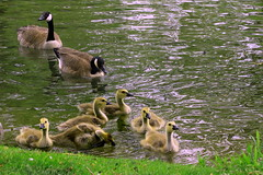 Canada Geese Family (klauslang99) Tags: klauslang nature naturalworld northamerica birds canada geese family goslings ngc