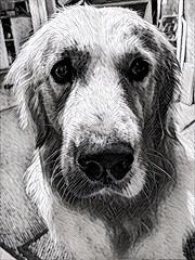 Drawn dog (Kol Tregaskes) Tags: koltphotography photo photography photooftheday pic picoftheday picture pictureoftheday