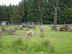 Menez meur parc animalier (ElviShSpiriT) Tags: menezmeur menez meur parc animalier animaux vache cheval mouton forêt nature verdure vert champ prairie cerf biche