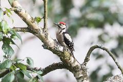 Buntspecht (rogerkreja) Tags: buntspecht vogel bird jungtier juvenil dendrocoposmajor greatspottedwoodpecker
