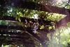 wisteria's remains (Ola 竜) Tags: wisteria purpleblossom greenleaves urbannature plant pinkflowers lila violet bokeh dof manualfocus 7artisans2518 fujixt10 lowpov pergola woodenarbour purple flower blossoms wisteriatree sunlight flare lensflare sunflare