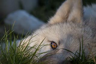 Polarwolfwelpe