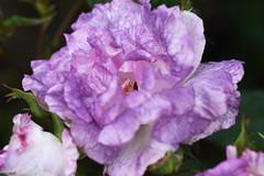 DSC_0023 (PeaTJay) Tags: nikond750 sigma reading lowerearley berkshire macro micro closeups gardens outdoors nature flora fauna plants flowers bouquet rose roses rosebuds