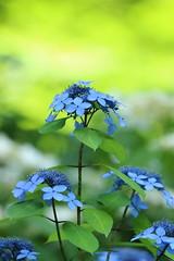 ajisai (* Yumi *) Tags: ajisai hydrangea アジサイ 紫陽花 高幡不動 flower