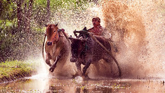 padang (sandilesmana28) Tags: travel bull race traditional padang west sumatera indonesia dof