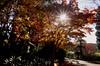 Sunburst through autumn leaves (PsJeremy - back and catching up...) Tags: red maple japanesemaple sony samyang melbourne mtdandenong alfrednicholsmemorialgarden