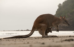 Maman Gourou et Petit Gourou (eric_marchand_35) Tags: mamangourou petitgourou kanga roo kangourou pocket capehillsborough queensland australiamorning sunrise australia morning wild kangaroo bébé baby babykangaroo australie animauxsauvages plage beach sea mer