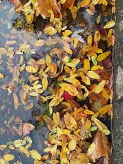 11-05-17 Dayton 54 leaves, fall color (Chicagoan in Ohio) Tags: dayton clouds sun sunhalo leaves fallcolor