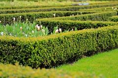 Tuinen Garden Hedges (YY) Tags: amsterdam netherlands rijksmuseum green tulips hedges