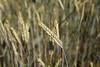Getreidefeld (rubrafoto) Tags: getreidefeld getreide weizen weizenähre ähre getreideähre natur landwirtschaft getreideanbau agrarwirtschaft ernährung biolandwirtschaft gesundheit ottensheim a