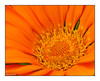 Orange flame (Graham Pym) Tags: flower flora petals orange macro nikon fantasticnature