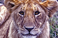 Take notice that I'm hungry (gerard eder) Tags: world travel reise viajes animals animales tiere wildlife africa kenya kenia masaimara lion löwe leones safari outdoor countryside natur nature naturaleza fauna