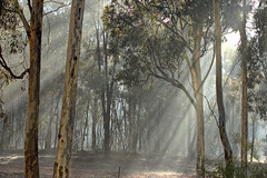 through the mist. (SUSETOZER) Tags: gumtrees mist morning trees nature winter cold