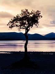 The Lone Tree at Loch Lomond (mianeko) Tags: milarrochybaytree milarrochybay lochlomond scotland scotlandsbeauty scottishlandscape scotlandphotography scottishhighlands scottishsunset sunset landscapephotography landscape lonetree