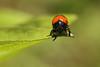 Sur une feuille // On a leaf (erichudson78) Tags: canonef100mmf28lmacroisusm macro canoneos6d nature coccinelle 7dwf faune fauna ladybird ladybug beetle