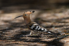 Hoopoe on the run (NikonNigel) Tags: copyright©nigelcox copyrights