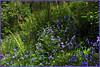Bluebells (JulieK (thanks for 7 million views)) Tags: hss sliderssunday topazglow postprocessed bluebells ferns spring woodland 100flowers2018 canoneos100d beautifulnature blue green foliage wildflowers tinternwoods forest wexford ireland irish