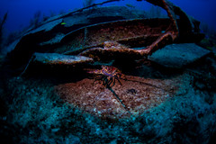 lobster under wreck (b.campbell65) Tags: adventure animal animals aquatic background bahamas beautiful biodiversity biology blue caribbean colorful conservation coral corals dive diving environment exploration fin fish island life marine ocean paradise reef salt saltwater scuba sea sealife seascape species travel tropical tropicalisland tropics undersea underwater vacation water wild wildlife