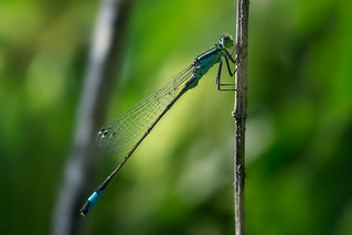 Young dragonfly