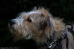 Jacques (Doris Lucas) Tags: hund hunde dog dogs mischling mix tierheimhund waldsolms dorislucas tier haustier haushund