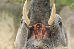 Elephant (K.Verhulst) Tags: elephant elephants olifanten olifant emmen wildlands wildlandsadventurezoo radzajunior