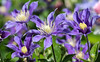 Clematis (LuckyMeyer) Tags: flower fleur clematis waldrebe lila blue garden sun green plant