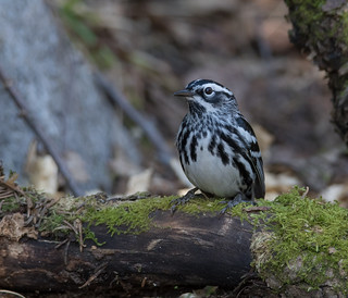 Paruline Noir et Blanc  -  Black-and-white Warbler