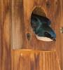 Tree Swallow (ccbird1) Tags: tres swallows cr45 howard