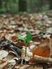 Frühling / spring (A.Dragonheart) Tags: makro nahaufnahme natur nature outdoor frühling spring wald forest waldboden blätter sprössling offspring leaf buche fagus