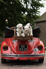 We going on vacation and take with us.... :) (dewollewei) Tags: oldenglishsheepdog oldenglishsheepdogs old english sheepdog sheepdogs dewollewei bobtail wickedwisdoms puppy puppies kever volkswagen rood wit eerde car dogs